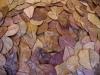 10 Seemandelbaumblätter der Größe 13-18cm